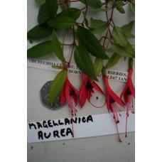 MAGELLANICA AUREA