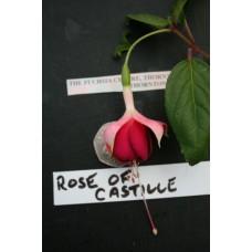 ROSE OF CASTILLE