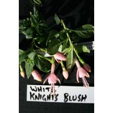 WHITE KNIGHTS BLUSH