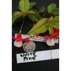 WHITE PIXIE