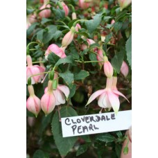 CLOVERDALE PEARL